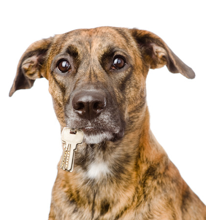 house trained: dog holding a keys in its mouth  isolated on white background Stock Photo