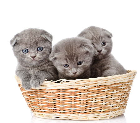 animal pussy: group british shorthair kittens in basket  isolated on white background
