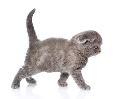lop eared: british shorthair kitten walking  isolated on white background Stock Photo