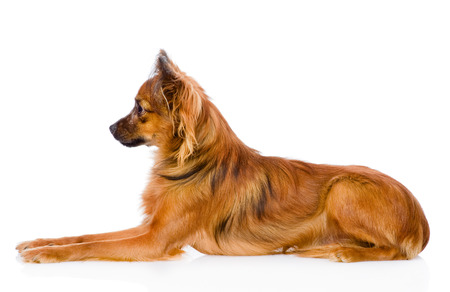 toy terrier: Russo toy terrier sdraiato nel profilo isolato su sfondo bianco