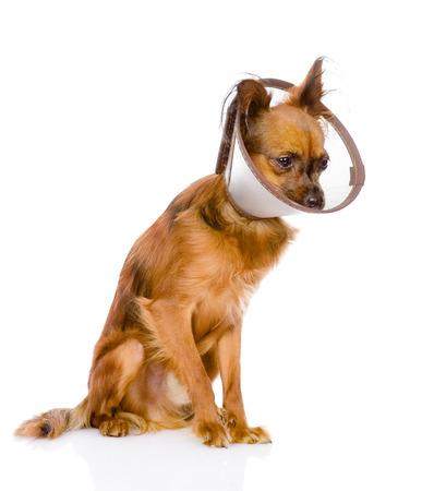 toy terrier: toy terrier indossando un collare di imbuto isolato su sfondo bianco Archivio Fotografico