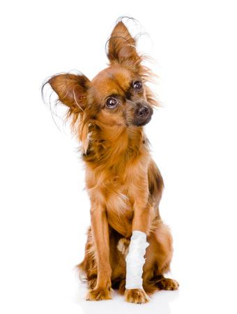 toy terrier: Terrier di giocattolo russo con una ferita alla gamba isolato su sfondo bianco