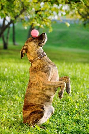 Perro de raza mixta Bola de equilibrio en la nariz