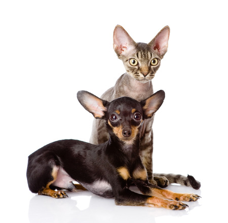 toyterrier: devon rex cat and toy-terrier puppy together  looking at camera  isolated on white background Stock Photo