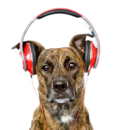 dog listening to music on headphones  isolated on white background photo