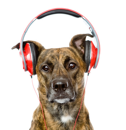 big ear: dog listening to music on headphones  isolated on white background Stock Photo