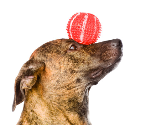 Mixed breed dog balancing ball on nose  isolated on white background Stock Photo