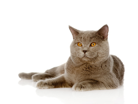 British shorthair cat lying  isolated on white background photo