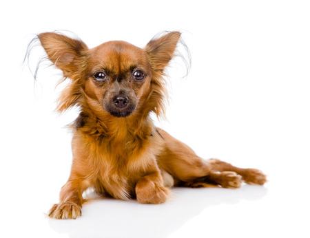 toy terrier: Russo toy terrier sdraiata di fronte isolato su sfondo bianco
