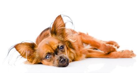 toy terrier: malato russian toy terrier che giace davanti isolato su sfondo bianco Archivio Fotografico