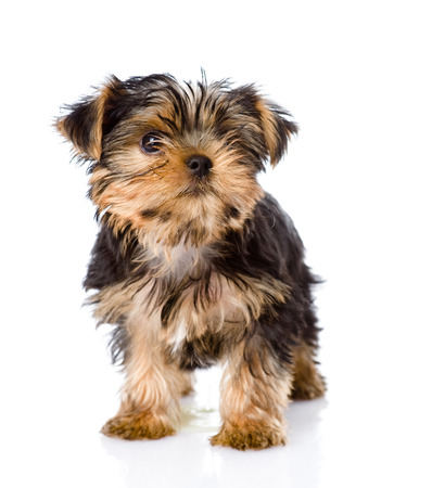 Yorkshire Terrier puppy standing in front  isolated on white background photo