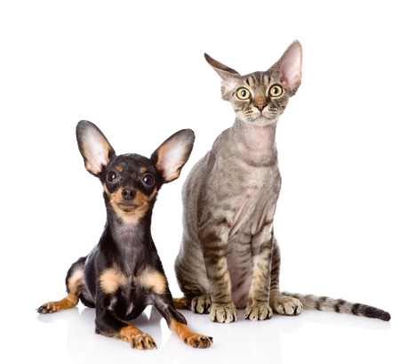 devon: devon rex cat and toy-terrier puppy together  looking at camera  isolated on white background Stock Photo