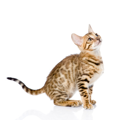 purebred Bengal cat looking up  isolated on white background photo