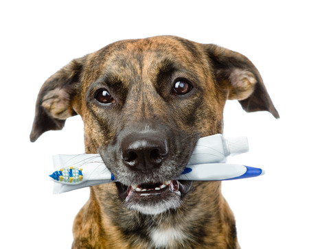 toothbrushes: mixed breed dog with a toothbrush and toothpaste  isolated on white background