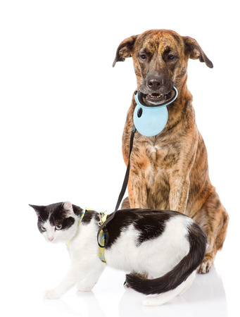 Dog walking a cat on a leash  isolated on white background