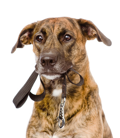 mixed breed dog with a leash in his mouth  isolated on white background