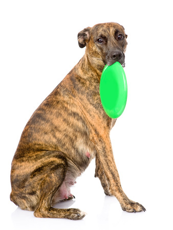 Mixed breed dog holding a flying disc  isolated on white background Stock Photo