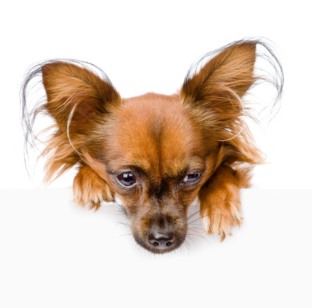 Russian toy terrier above white banner looking down  isolated on white background photo