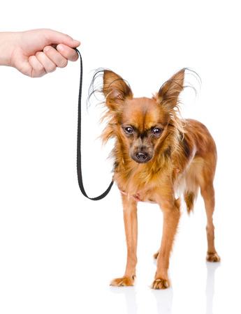 toy terrier: mano che tiene un giocattolo terrier cucciolo russo al guinzaglio isolato su sfondo bianco