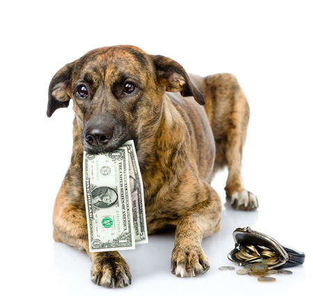 dog holding dollars in its mouth  isolated on white background Фото со стока