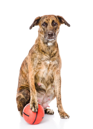 fetch: dog with ball  isolated on white background