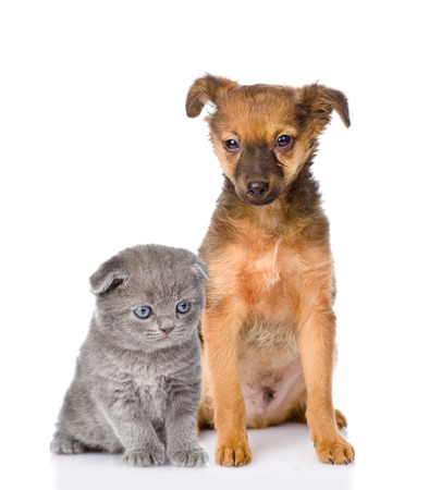 mixed breed puppy and british shorthair kitten  isolated on white background photo
