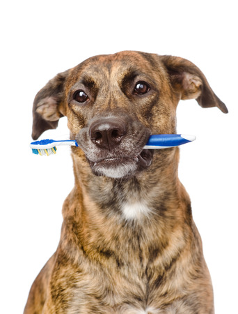 mixed breed dog with a toothbrush  isolated on white  Stock Photo