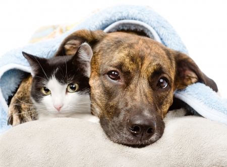 sad dog and cat lying on a pillow under a blanket  isolated on white