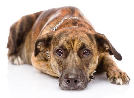 animal sad face: sad mixed breed dog  isolated on white  Stock Photo
