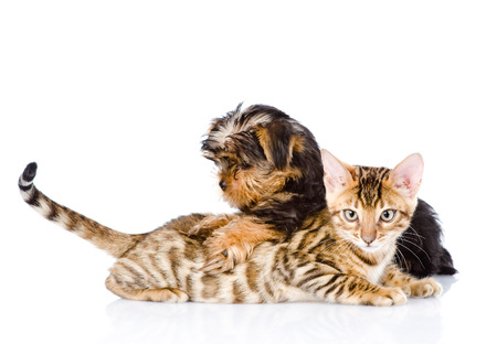 prionailurus: purebred bengal kitten and Yorkshire Terrier puppy together  isolated on white