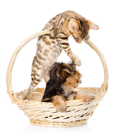 kitten playing with a puppy  isolated on white  photo