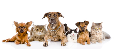 Group of cats and dogs lying in front  looking at camera  isolated on white