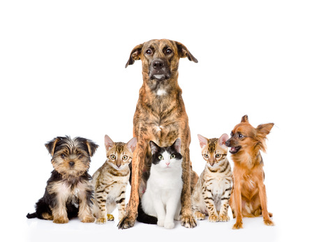 large family portrait: Group of cats and dogs sitting in front  looking at camera  isolated on white background