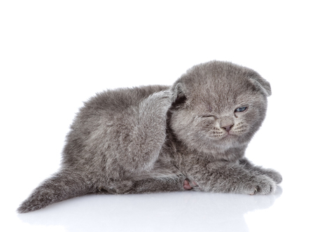 fleas: british shorthair kitten scratching  isolated on white background
