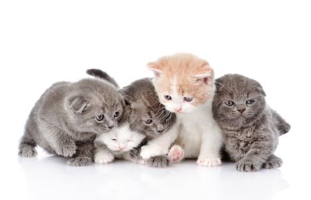 british pussy: five british shorthair kittens  isolated on white background