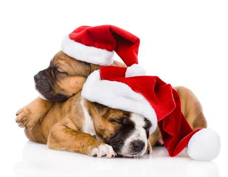 dois filhote de cachorro bonito com chap�u de Santa isolado no fundo branco