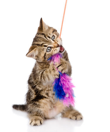 playful scottish kitten biting toy  isolated on white background