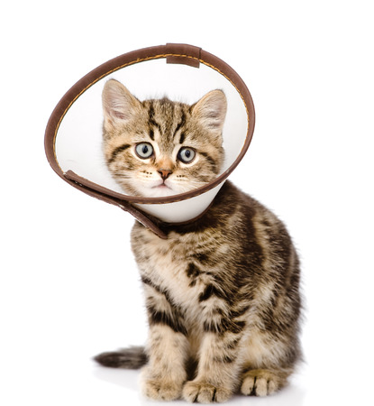 scottish kitten wearing a funnel collar  isolated on white background