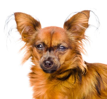 toy terrier: Ritratto russo terrier giocattolo di fronte isolato su sfondo bianco