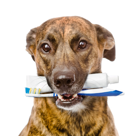 mixed breed dog with a toothbrush and toothpaste  isolated on white background photo