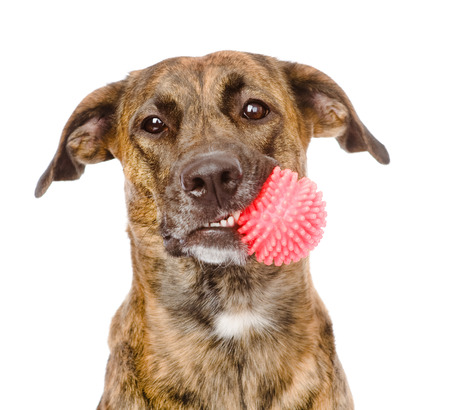 fetch: dog holding red ball  isolated on white background Stock Photo