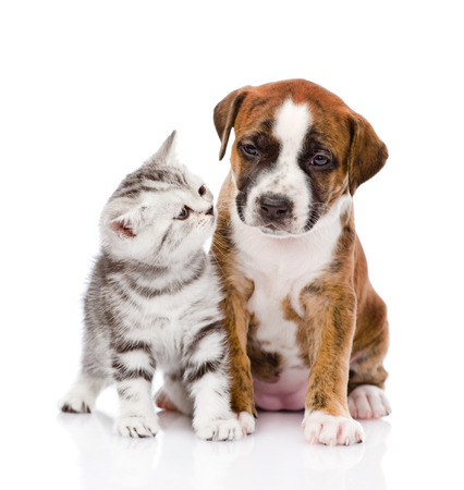 Scottish kitten and cute puppy  isolated on white background photo
