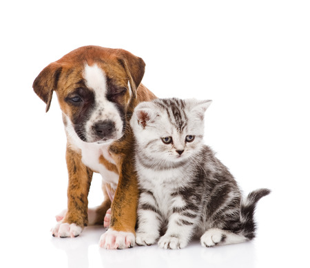 near side: Scottish kitten and puppy looking away  isolated on white background