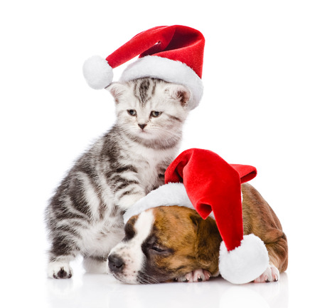 Scottish kitten and sleeping puppy with santa hat  isolated on white background photo