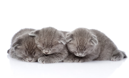 british shorthair: three british shorthair kittens sleeping  isolated on white background
