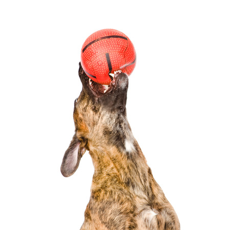 fetch: Dog catching a ball  isolated on white Stock Photo