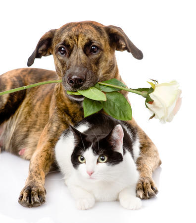 large dog: cat and dog with a white rose  isolated on white Stock Photo