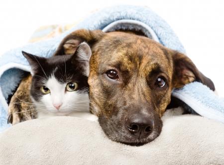 perro triste: triste perro y el gato acostado en una almohada debajo de una manta aisladas sobre fondo blanco Foto de archivo