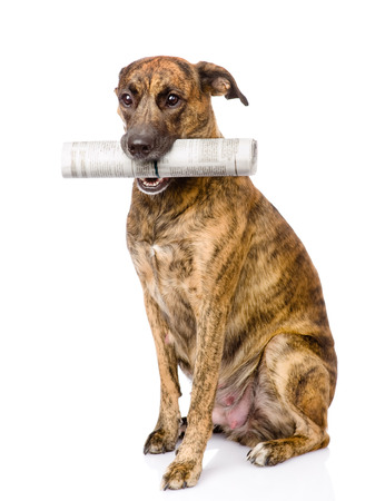 fetch: dog carrying newspaper  isolated on white