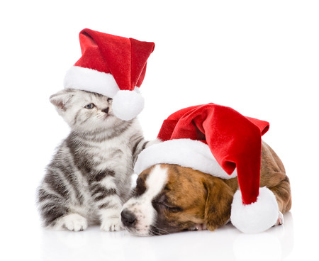 Scottish kitten and small puppy with santa hat  isolated on white  photo